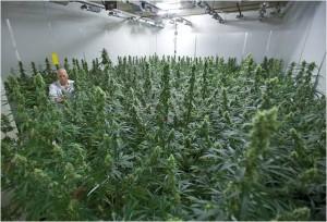 La cannabis per uso terapeutico è clonata e coltivata in serre farmaceutiche in Olanda