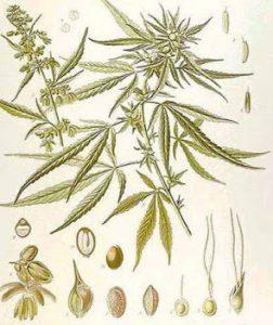 Sta per essere pubblicata la monografia cannabis sulla Farmacopea!