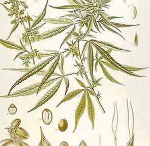 Monografia Cannabis Sativa Terapeutica Farmacopea Tedesca