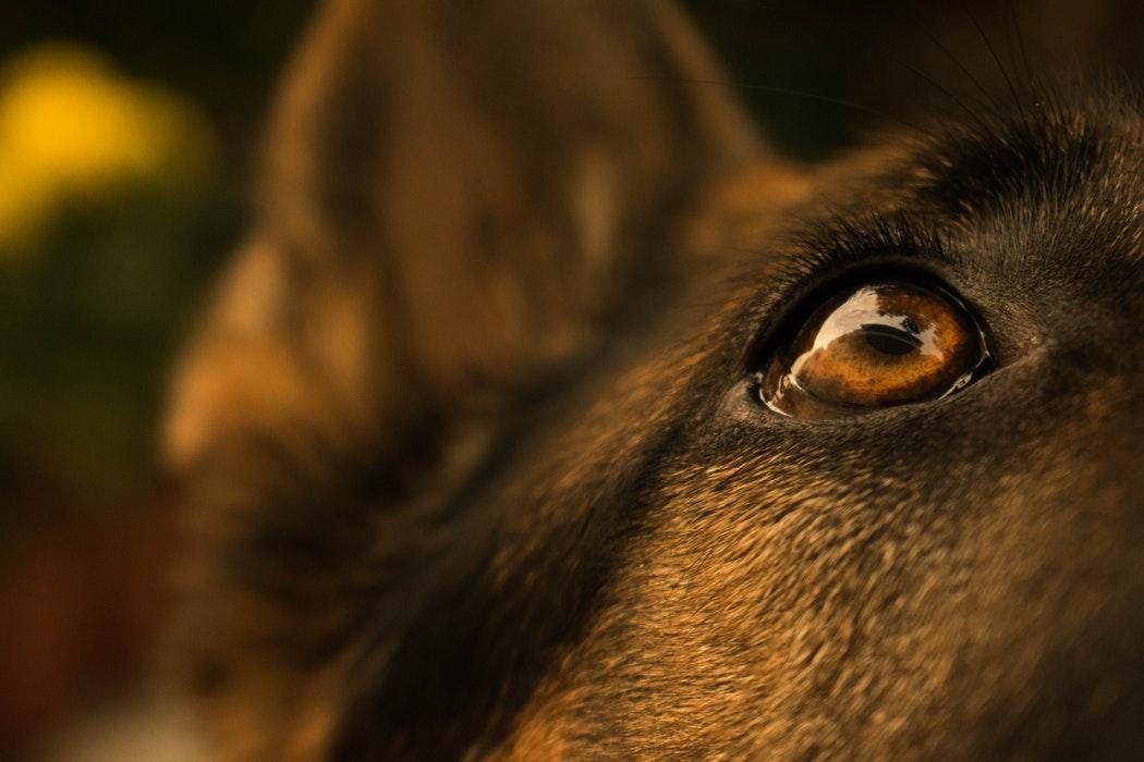 ciclosporina collirio galenico uso veterinario cane
